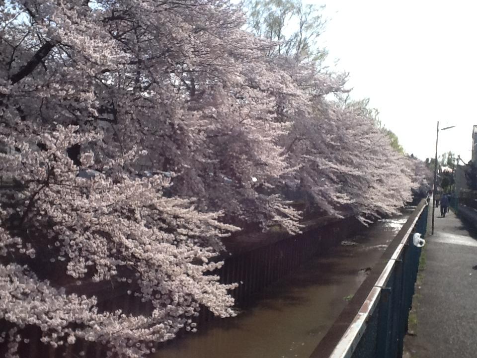 http://blog.ipo-navi.com/2012/04/06/sakura1.JPG